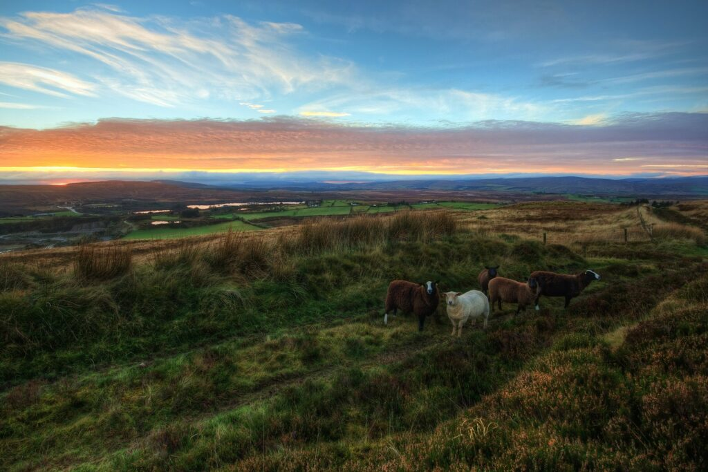 five-sheeps-on-pasture-during-golden-hour-1650919
